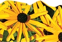 Picture of Black-Eyed Susans Discovery Border