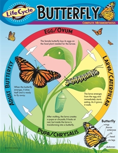 Picture of Life Cycle of a Butterfly Learning Chart